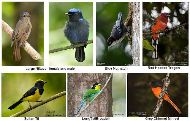 Fraser's Hill Birds Collage
