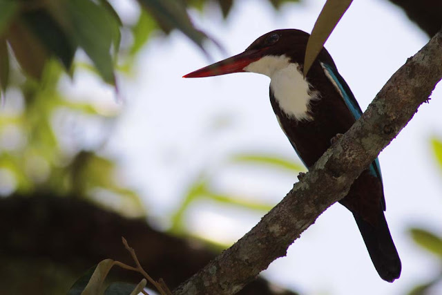 White-throated Kingfisher (Halcyon smymensis)