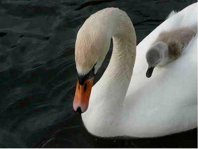 Svanunge trygg mellan mammans vingar
