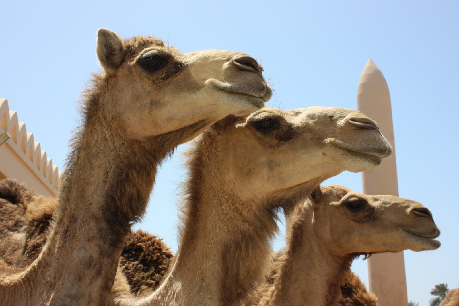 Aroha Silhouettes Middle East camels travel