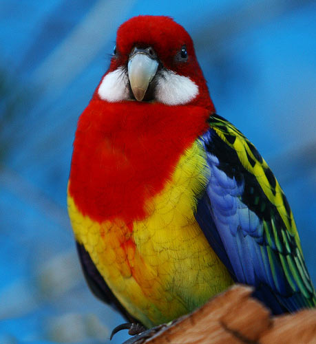 Pets For You Best Pet Red Rosella Parrot