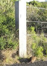 bandicoot ( Perameles gunnii )