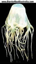 Box jelly fish (Chironex Fleckeri )