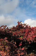 Autumn glory vine
