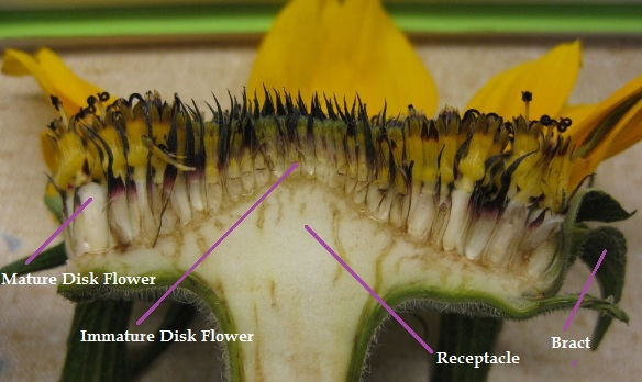 Structure Of Flower Of Sunflower In Cross Section Diagram Manual Guide