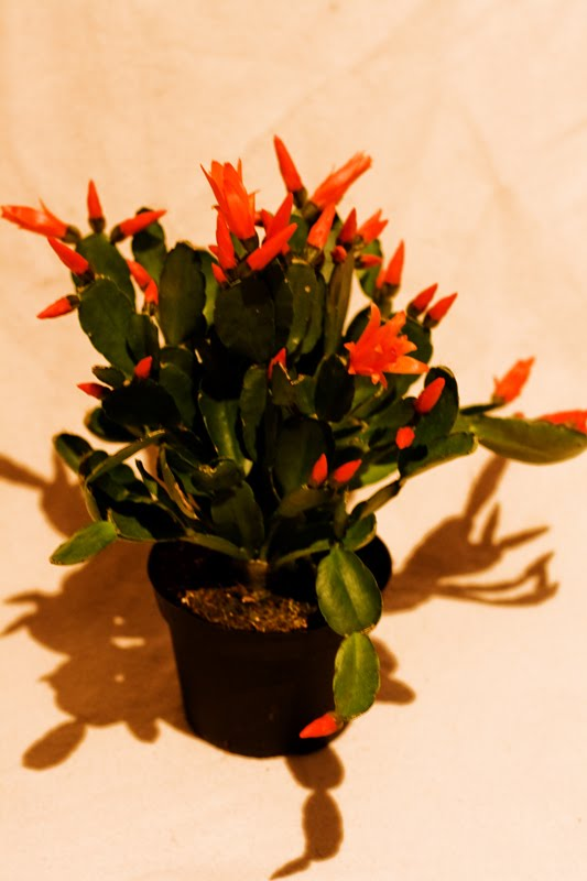 inspiring gardenia house plant. My third choice of the day turned out to be an Easter cactus  mum has had Christmas variety for years and as my windowsills get a lot daylight House Plants Icy Sedgwick
