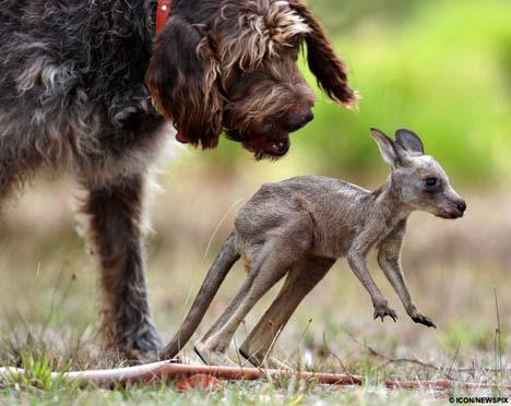 [dog-kangaroo3.jpg]