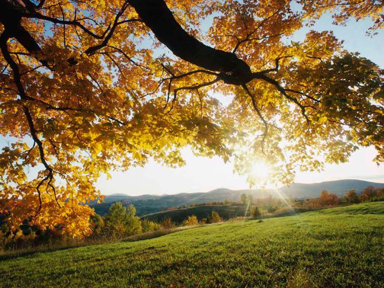 Gambar Pohon Cemara