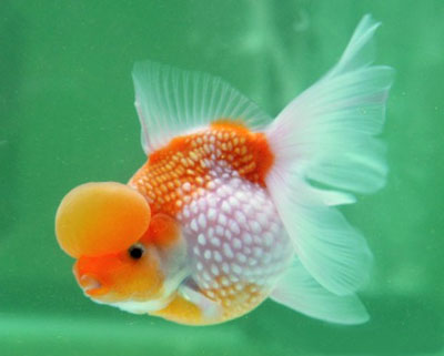 fantail goldfish eggs pictures. similar to the fantail.