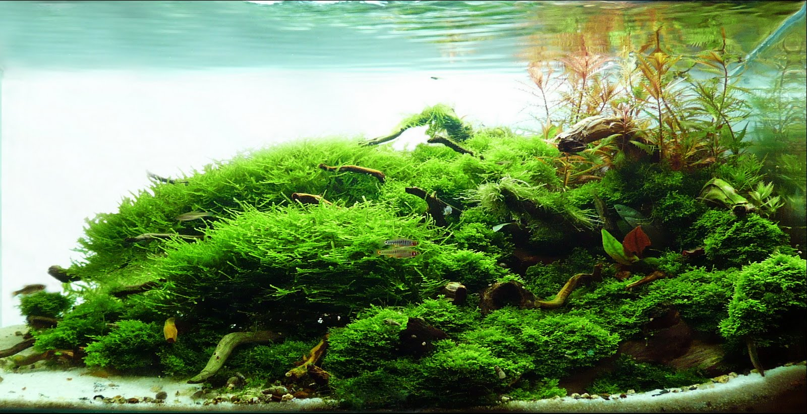Manage your freshwater aquarium tropical fishes and plants aquatic scapers europe - Aquascape espana ...