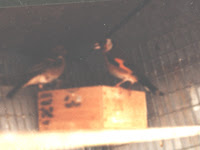 Cardellino e Fringuella sul nido
