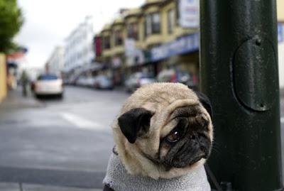 depressed-sad-pug-1.jpg