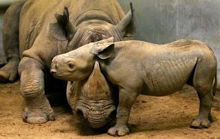 Rinoceronte bebé descansa em cima do progenitor