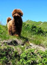 montagnard-ul canin
