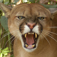 I LIKE MOUNTAIN LIONS