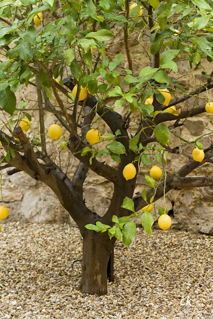 Cookbook tarta de lim n for Limonero sin limones