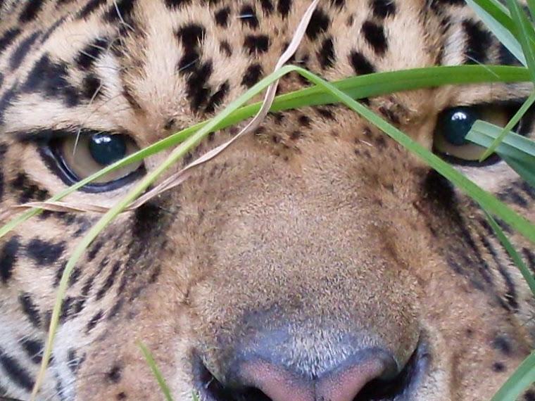 Le jaguar à  Tumbillo