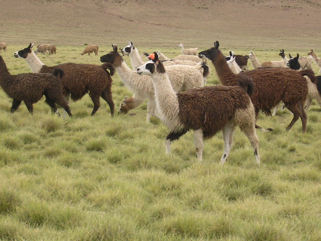 Troupeau de lamas sur la route d'Uyuni