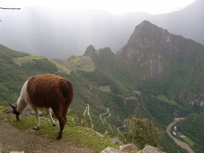 Un lama au Machu