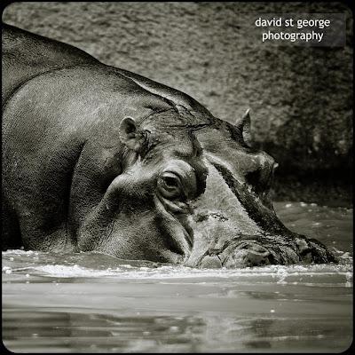 hippo Auckland Zoo