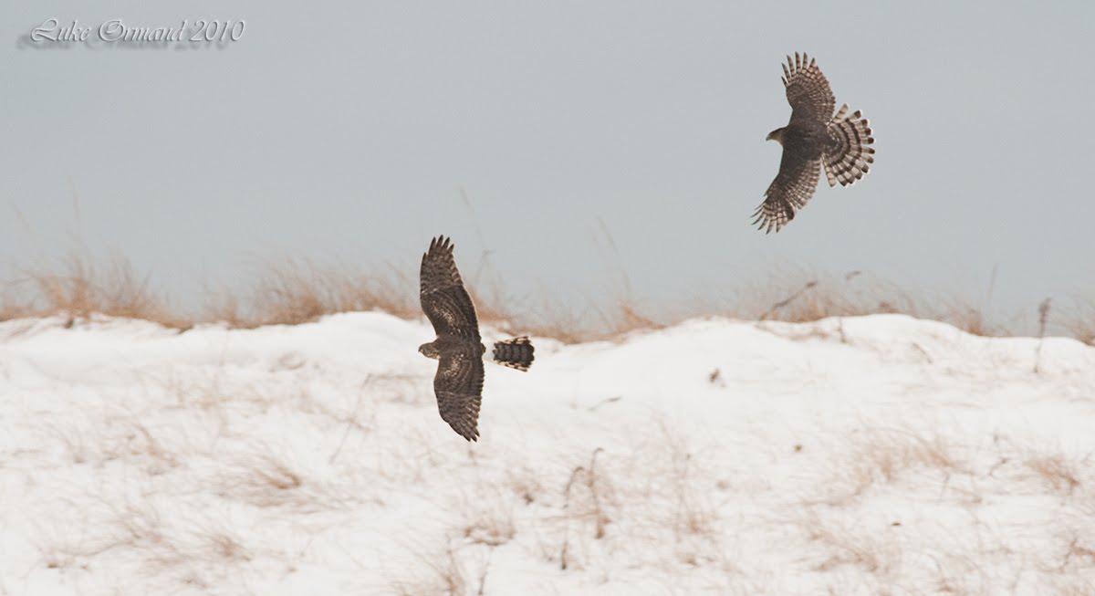 [Coopers+Hawk+v.+Northern+Harrier]