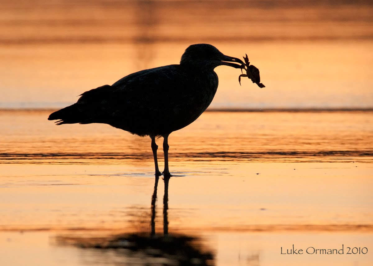 Displaying 15> Images For - Blue Crab Silhouette...