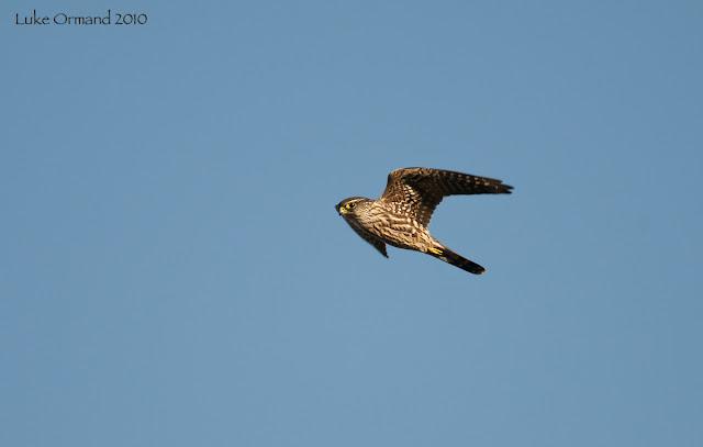 evening hawk