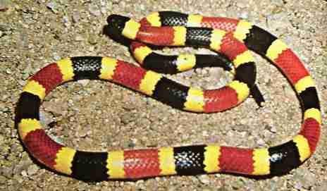 """""""serpientes Venenosas Mexicanas"""" Coralillo_2679"""