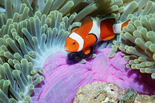 False Clown Anemonefish, Similan Islands, Andaman Sea, Thailand