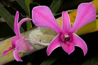 Lim Chong Orchid