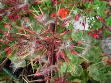 dragonfly geranium