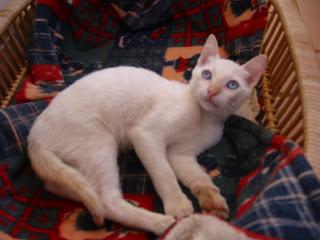 KAT - Gatinha branca nascida a 26 de Abril 09 para ADOPÇÃO 181-8156_IMG