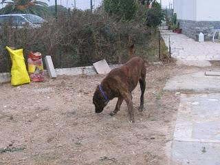 Leão, Castro Laboreiro, Macho, 4 anos , Margem Sul IMG_1274