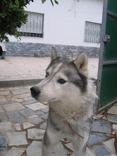Bóris, Husky Siberiano, Macho, 9 anos, Margem Sul IMG_1286