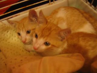 Star e Samantha > Duas gatinhas pequerruchas para adopção! IMG_1107