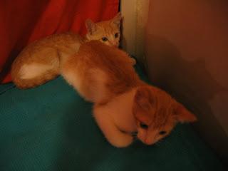 Star e Samantha > Duas gatinhas pequerruchas para adopção! IMG_1137