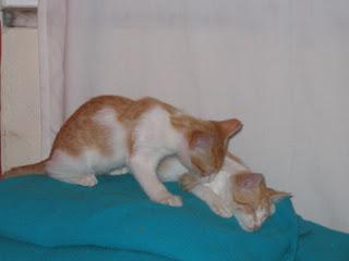Star e Samantha > Duas gatinhas pequerruchas para adopção! IMG_1229