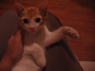 Star e Samantha > Duas gatinhas pequerruchas para adopção! IMG_1222