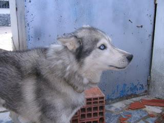Bóris, Husky Siberiano, Macho, 9 anos, Margem Sul Dovskapets+062