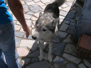Bóris, Husky Siberiano, Macho, 9 anos, Margem Sul Dovskapets+059