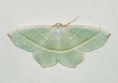 Light Emerald (Campaea margaritata)