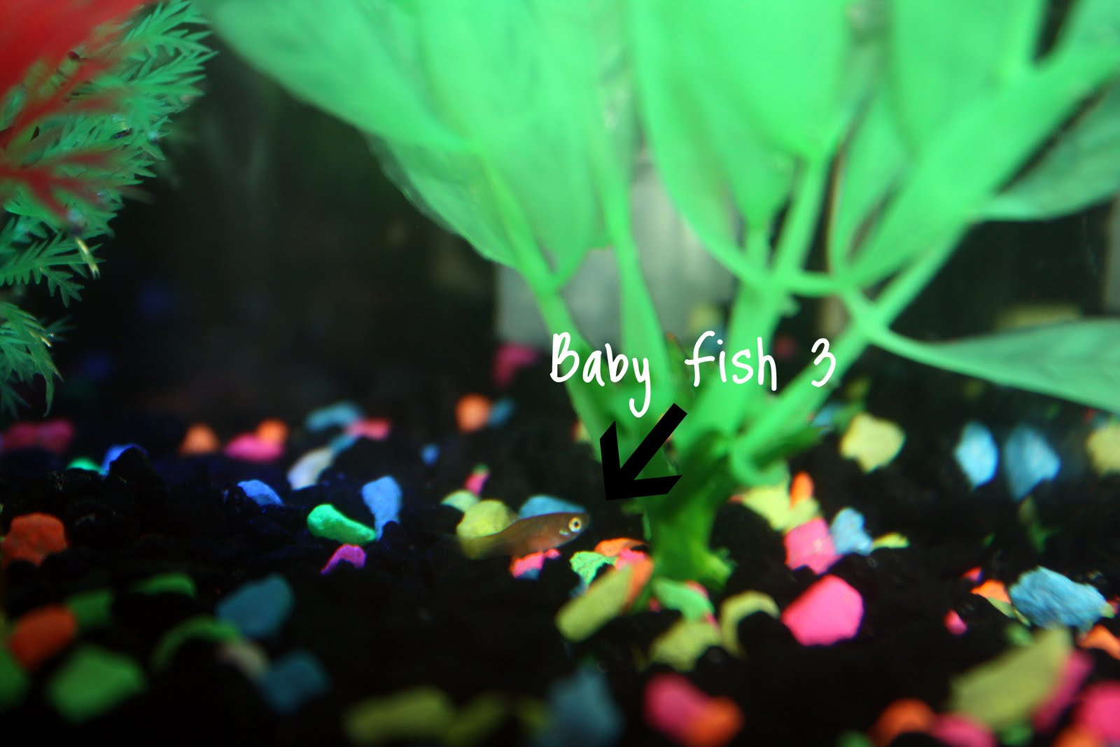 Molly fish eggs for Molly fish babies
