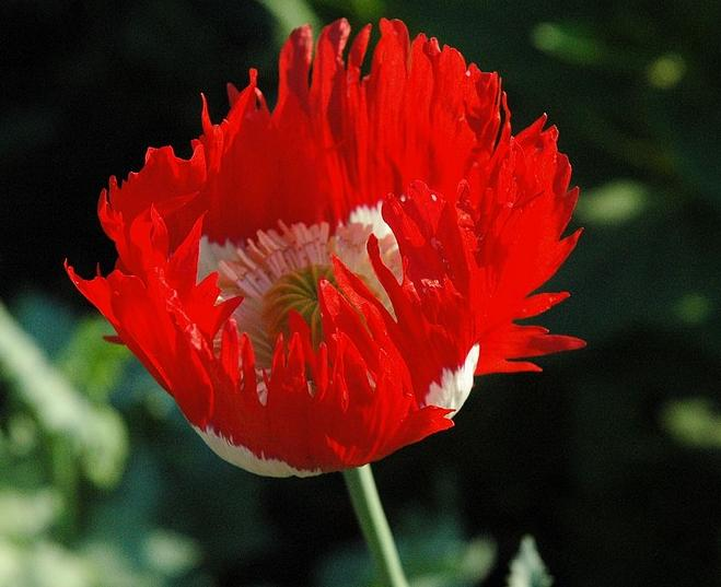 Papaver somniferum - the opium poppy