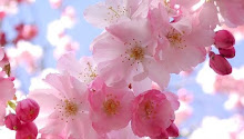 SAKURA, la flor del cerezo para los japoneses