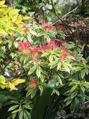 Pieris in our garden in April