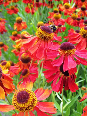 Bee on red and orange daisies