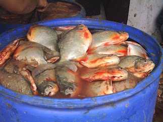Peces del amazona for Alimento para cachamas