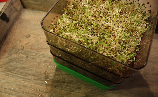 Oppskrift Spirer Bean Sprouts Alfalfa Frø