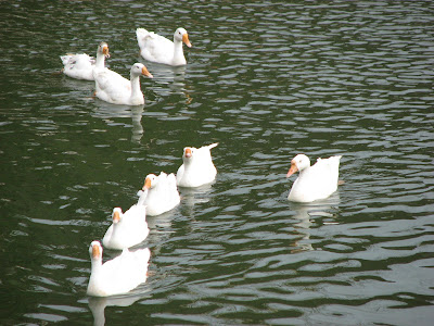 Ducks floating in Banganga