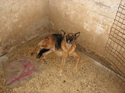 German Shepherd dog farm